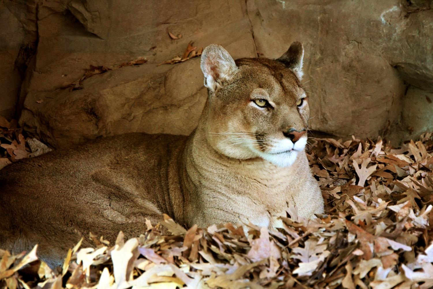 Cougar Attacks Hikers, Why?